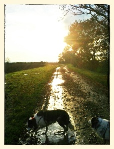 border collies sauntering sodden fields